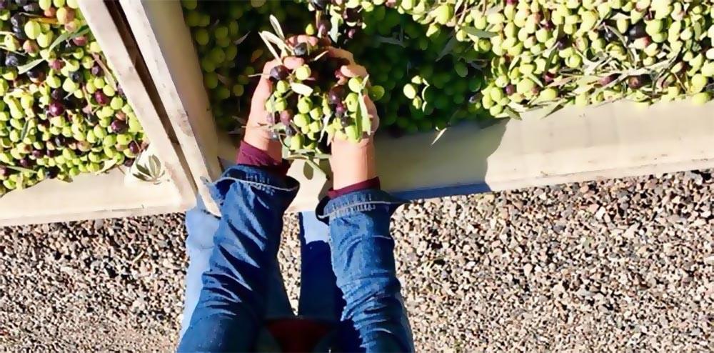 Урожай оливок Koroneiki
