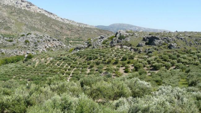 Оливковая роща Sitia