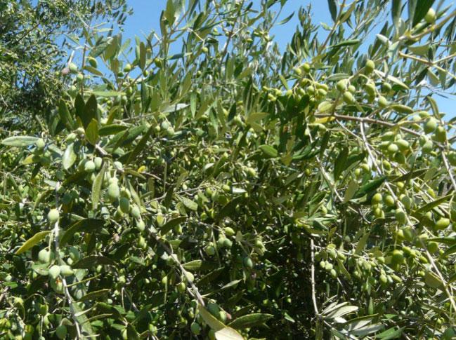 будущее оливковое масло Sitia